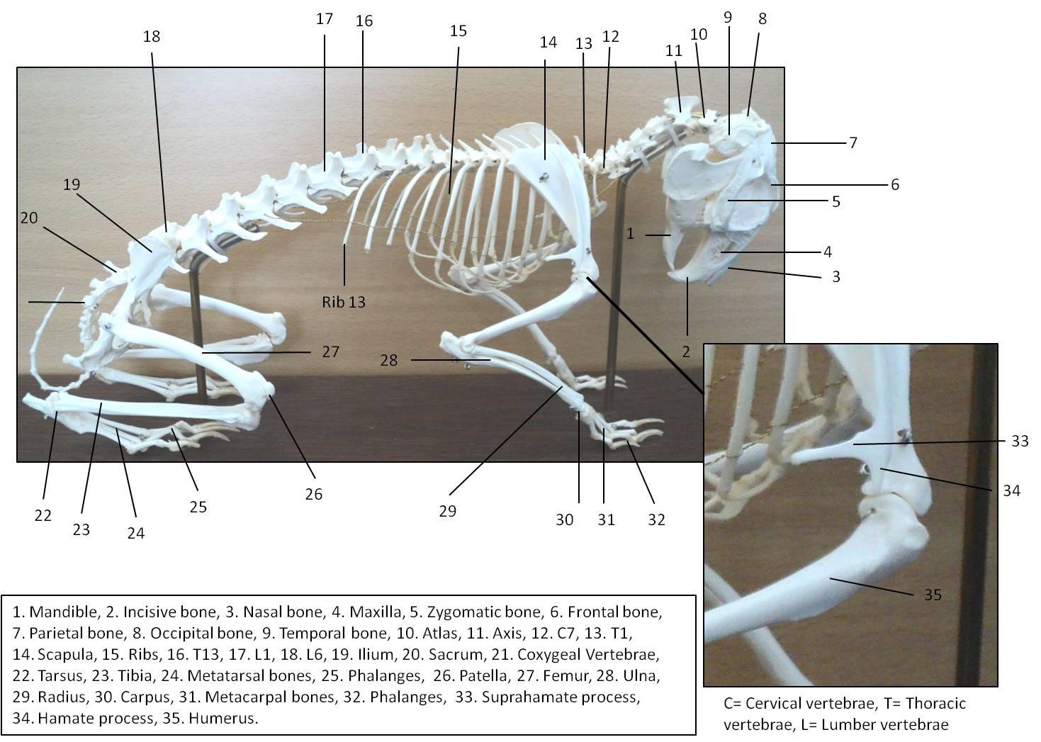 hight resolution of rabbit skeleton