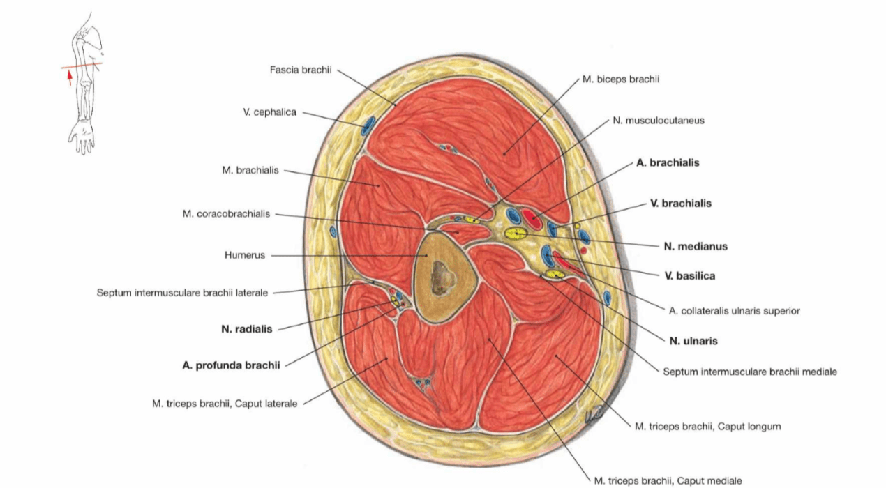 diagram of sciatic nerve leg car ac schematic human anatomy - cross section through the right arm question biology stack exchange