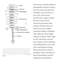 frog spine diagram [ 1332 x 1352 Pixel ]