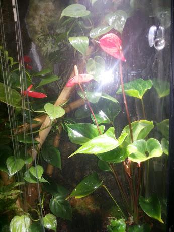 houseplants  How can I keep my flamingo plants small for