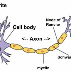 neuroanatomy nerves neurons axons and dendrites by example rh biology stackexchange com blank neuron diagram ear [ 1304 x 739 Pixel ]