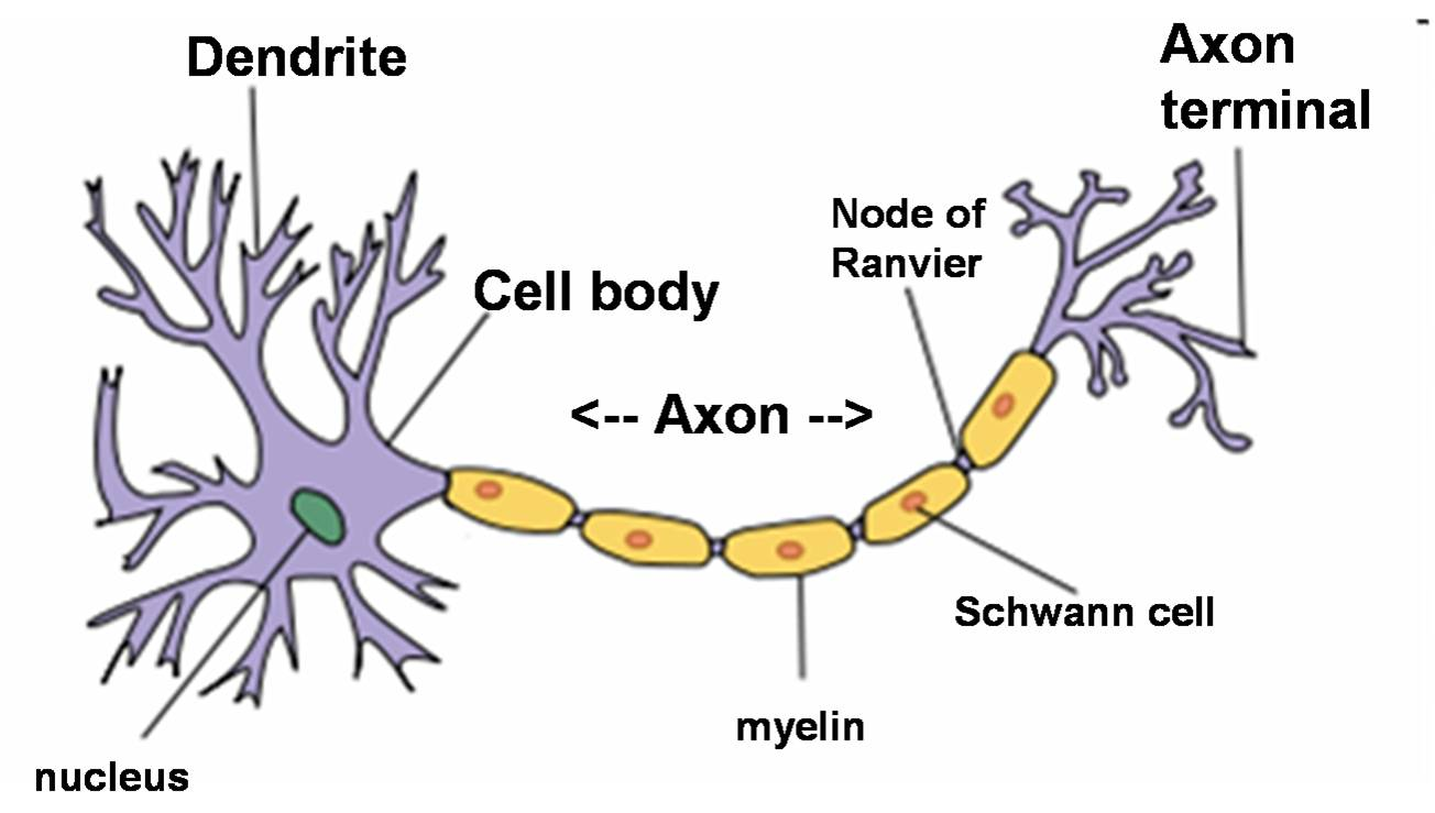 hight resolution of neuroanatomy nerves neurons axons and dendrites by example rh biology stackexchange com blank neuron diagram ear
