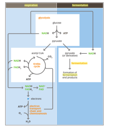 stages of glycolysis and fermentation diagram cb750 simple wiring cellular respiration is the beginning part enter image description here