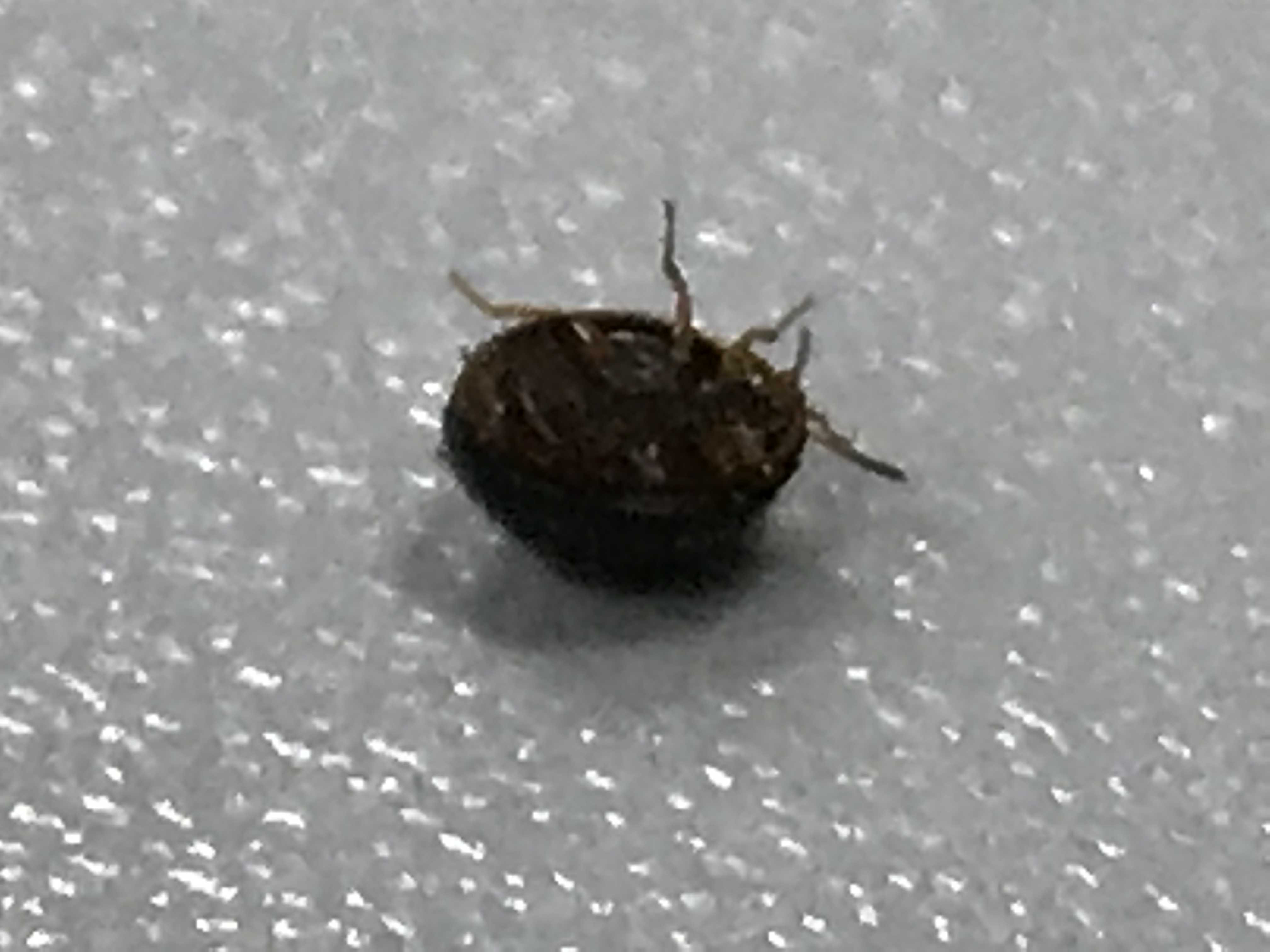 bug identification - What is this round shiny black bug ...