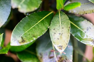 Herbs Discolouration On Bay Laurus Leaves Gardening