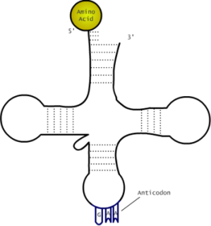 Draw a tRNA diagram  TeX  LaTeX Stack Exchange