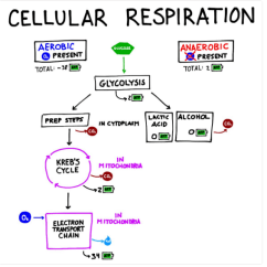 Stages Of Glycolysis And Fermentation Diagram 1994 Harley Davidson Sportster 1200 Wiring Cellular Respiration Is The Beginning Part Enter Image Description Here
