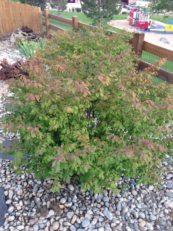 identification - bushes