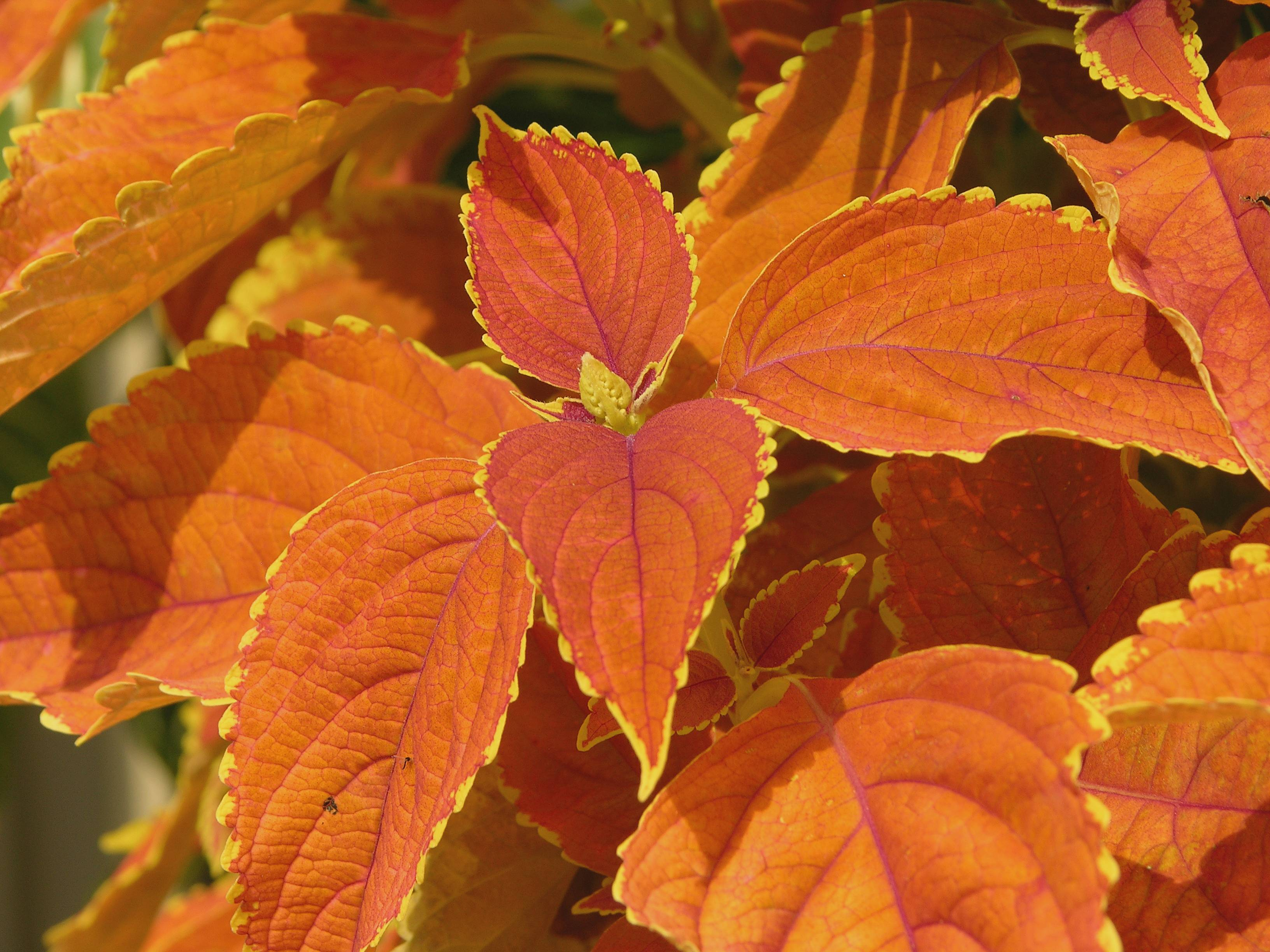Fall Colors Wallpaper Biochemistry Why Do Most Plants Reflect Green And Others