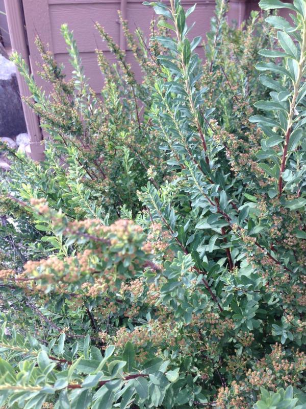 identification - shrub