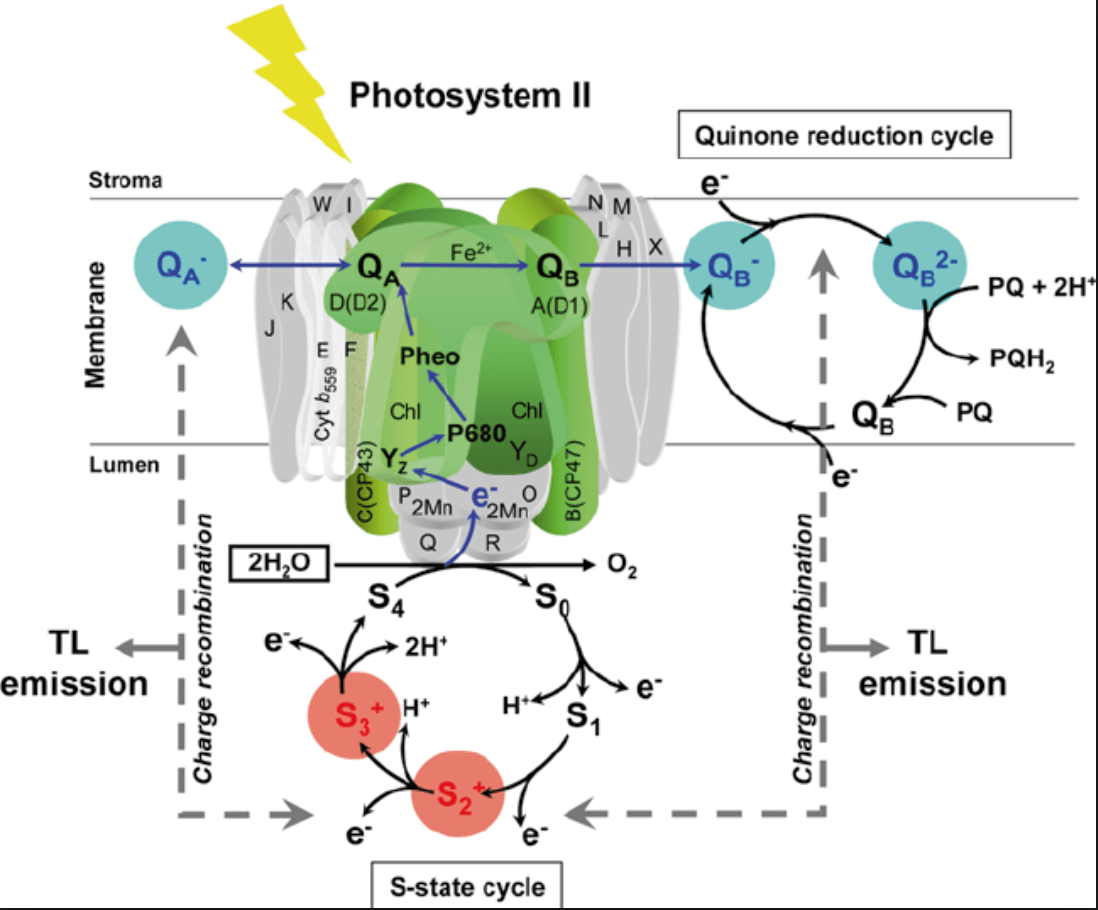 light reactions photosystem diagram nitrous express wiring biochemistry the effect of atrazine on ldr in