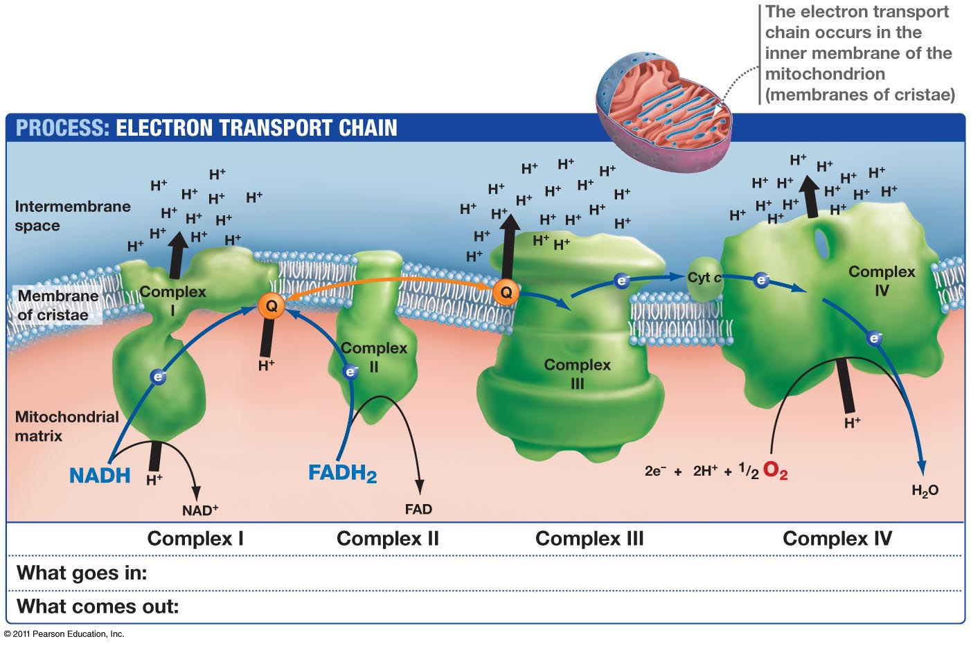 electron transport chain simple diagram lg split ac outdoor wiring biochemistry does the formation of water inside