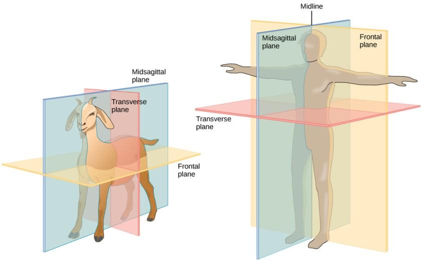 human biology - Dorsal vs Posterior and Ventral vs ...