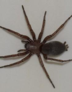 Enter image description here also zoology spider identification is this an arizona recluse rh biologyackexchange