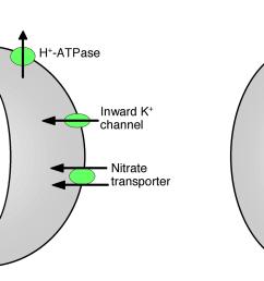 regulation of stomata opening and closure [ 2721 x 1049 Pixel ]