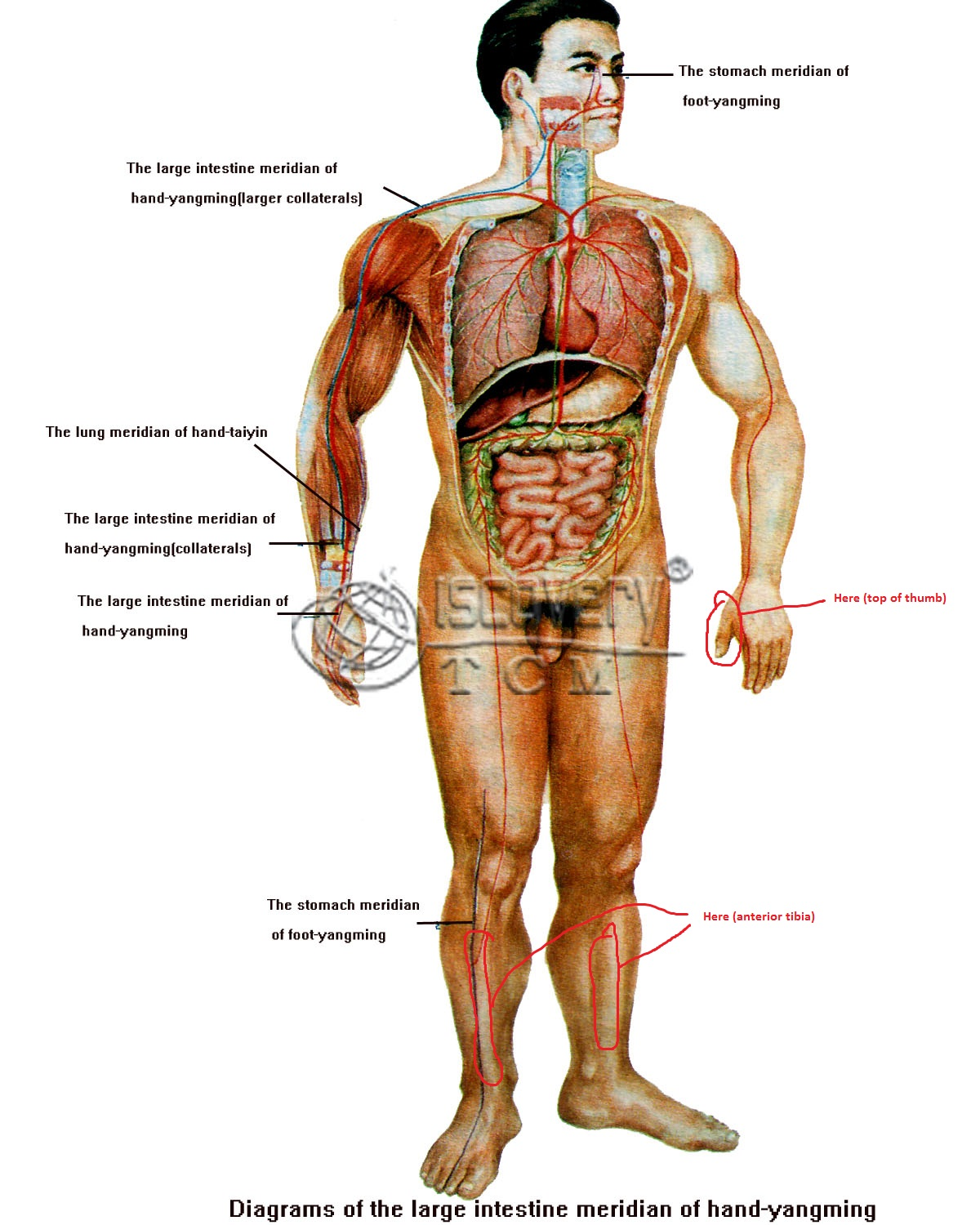 hight resolution of human anatomy names of nerves in hands shins and face biology diagram of body with face