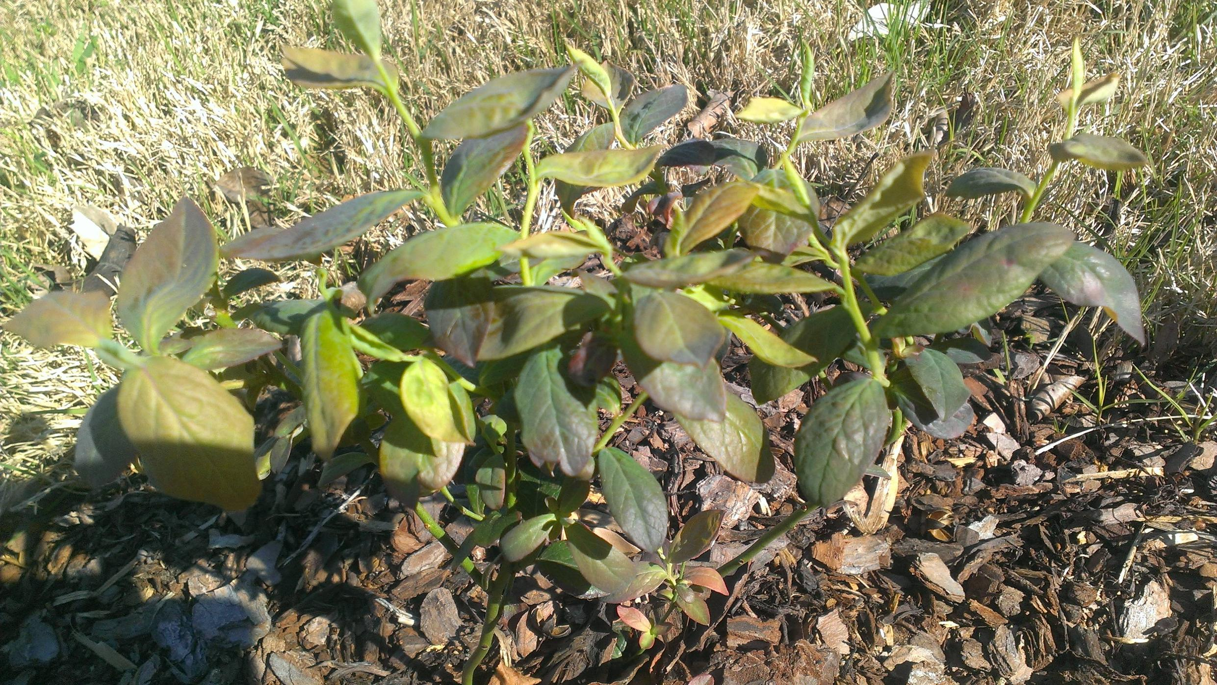 diagnosis  What are some reasons why a blueberry bushs leaves turn yellow  Gardening