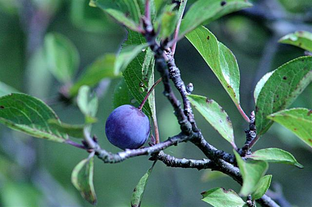 identification  Need some help identifying a plum tree  Gardening  Landscaping Stack Exchange