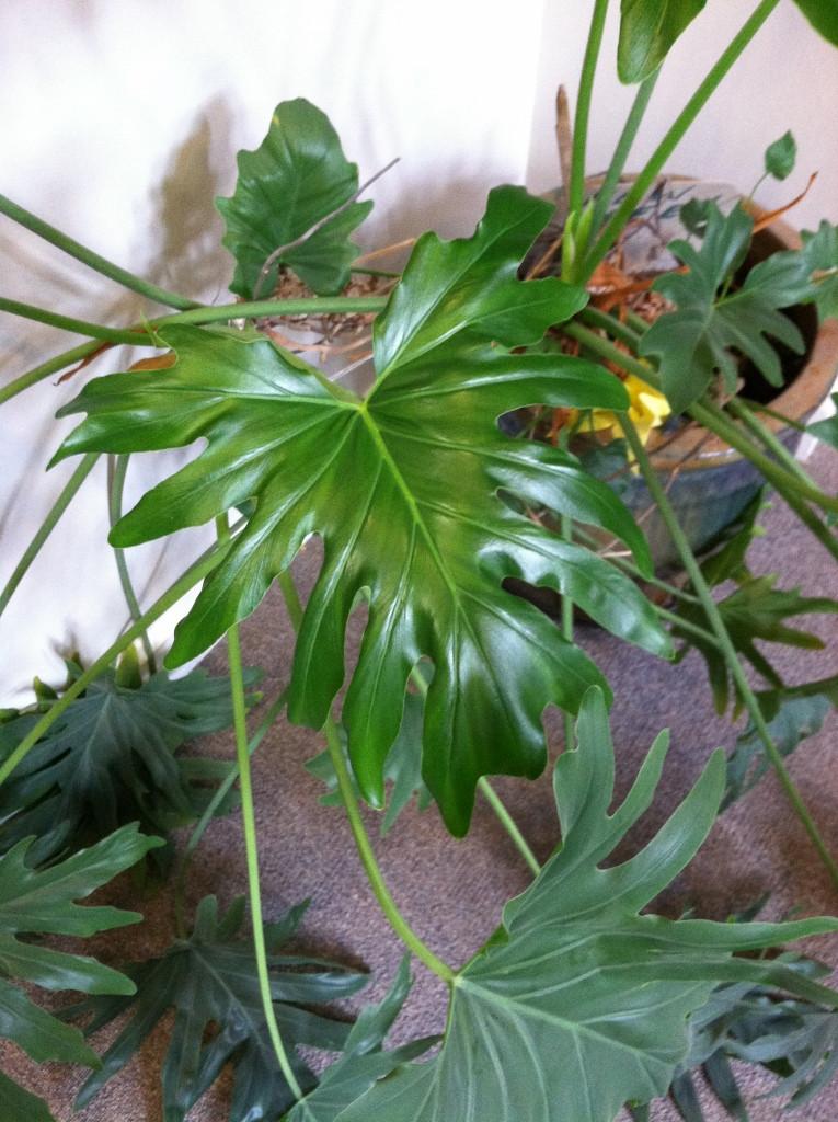 identification identify this houseplant