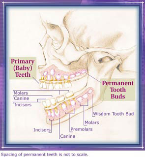 biology - Is this image about child teeth development accurate ...