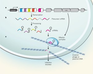 bacteriology  How effective are restriction enzymes in