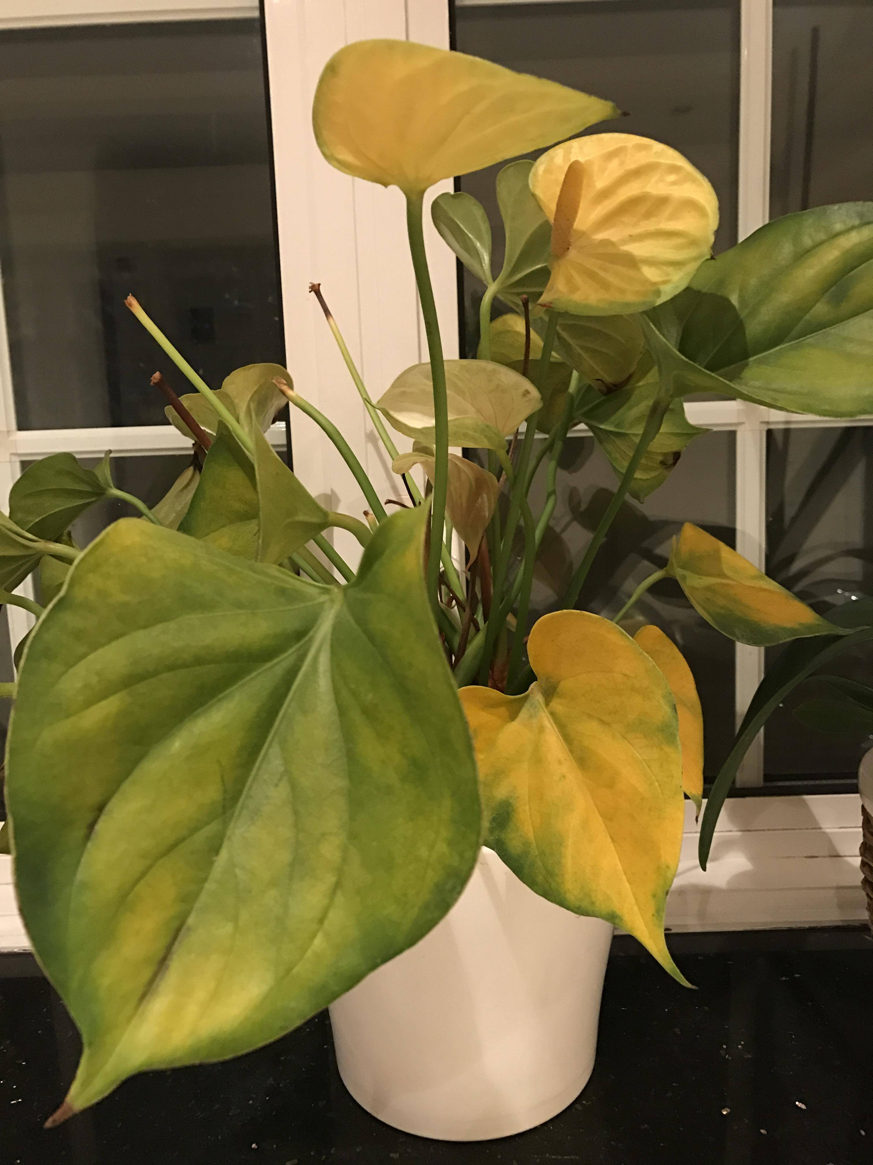 diagnosis  Why are my anthurium leaves rapidly turning