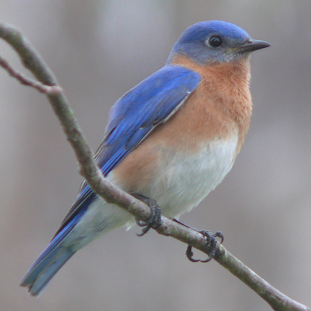 """meaning - is a """"blue bird"""" the same as a """"bluebird""""? - english"""
