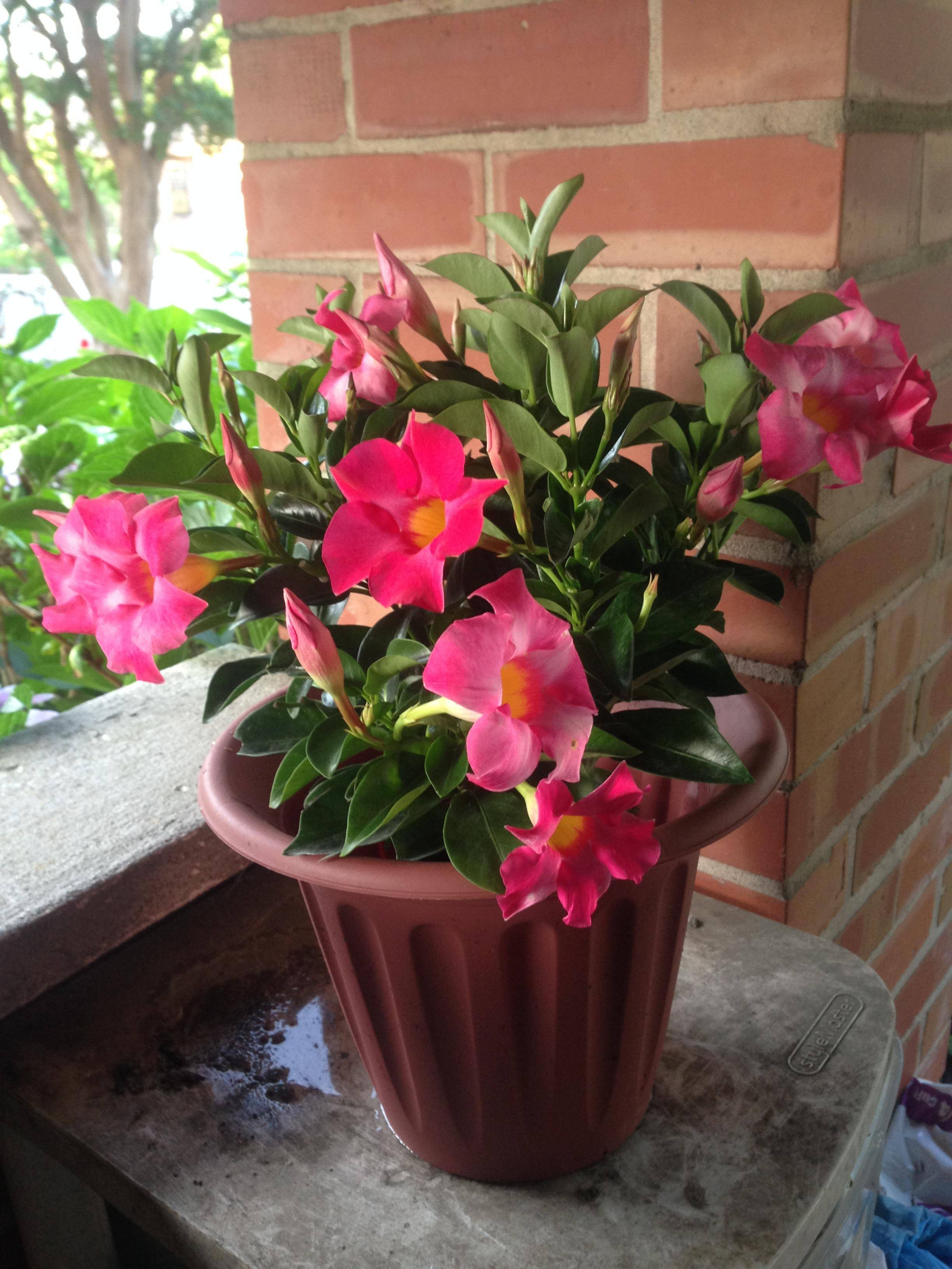 Indoors I Need Advice About A Dipladenia Related To