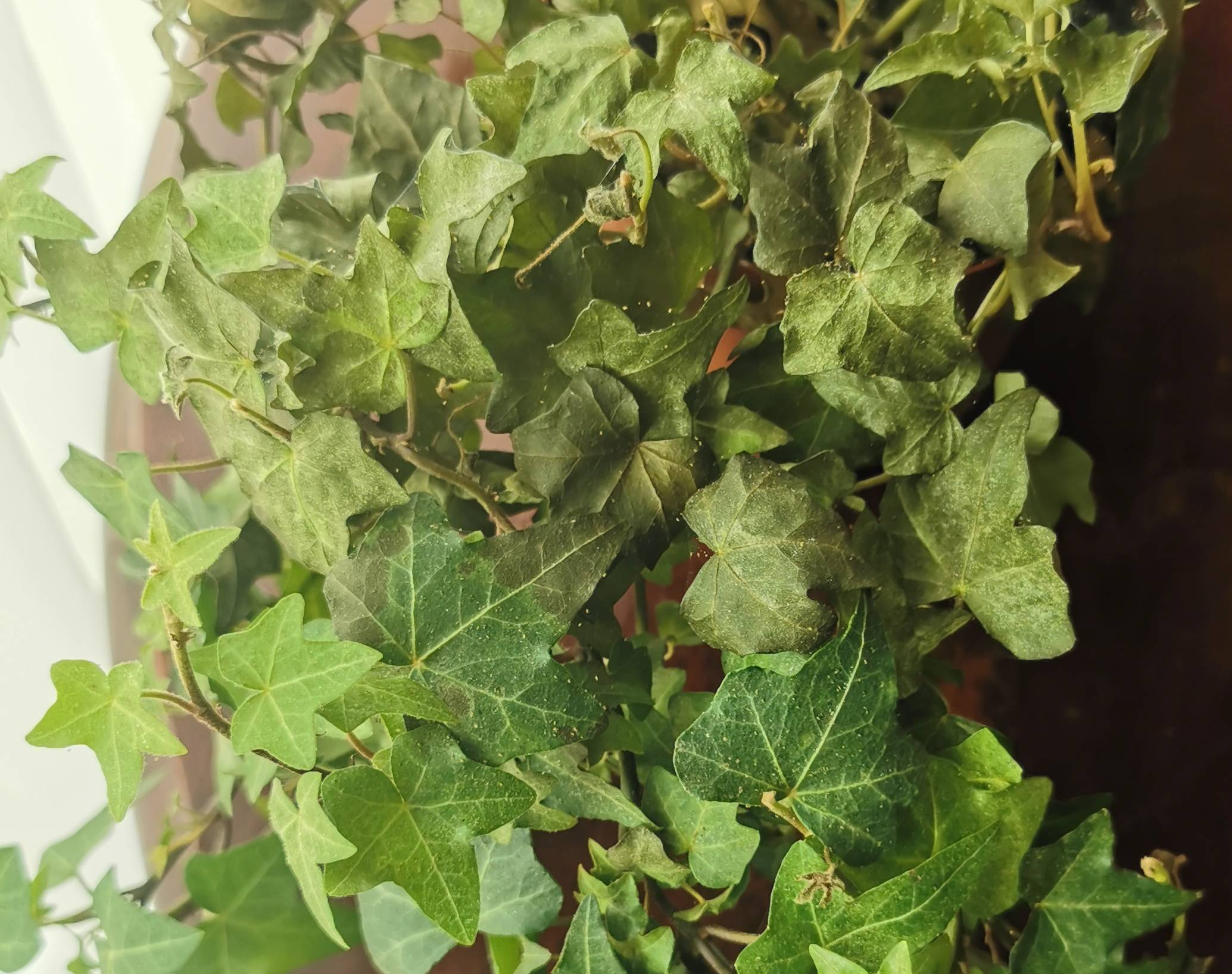 dryness - English ivy - Leaves and branches drying and ...