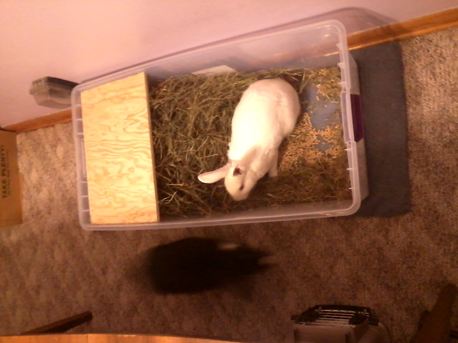 behavior  My rabbit is digging at the carpet in the
