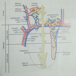 Nephron Diagram From A Textbook 2002 Chevrolet Tahoe Stereo Wiring Kidney Does Cortical Has Just Thin Ascending Loop Of Henle
