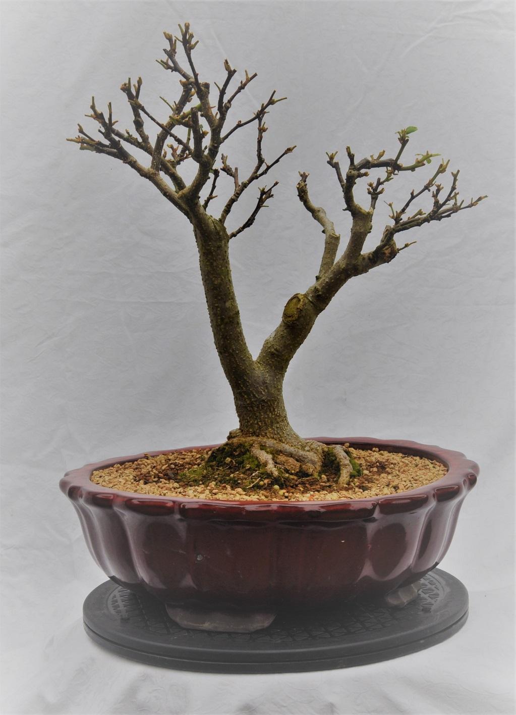 Cottonwood Bonsai : cottonwood, bonsai, Should, Cottonwood, Start, Pruning, Bonsai?, Gardening, Landscaping, Stack, Exchange