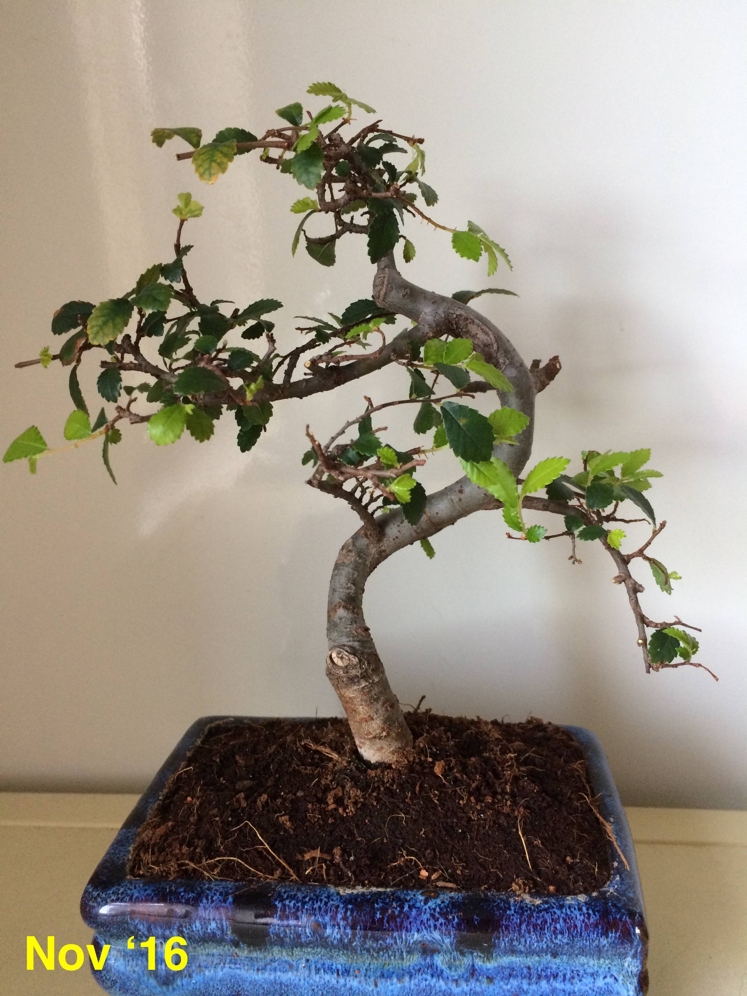 Houseplants How Can I Restore Foliage In A Chinese Elm Bonsai Gardening Amp Landscaping Stack