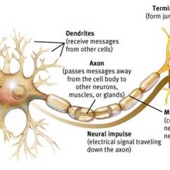 Detailed Neuron Diagram 4 Prong Night Vision Neuroscience What Are The Functions And Differences Between Axons
