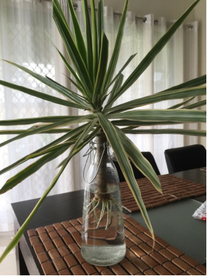 planting  How to properly plant Dracaena after it developed roots in water  Gardening