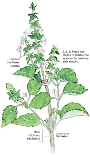herbs  What are the best conditions for basil