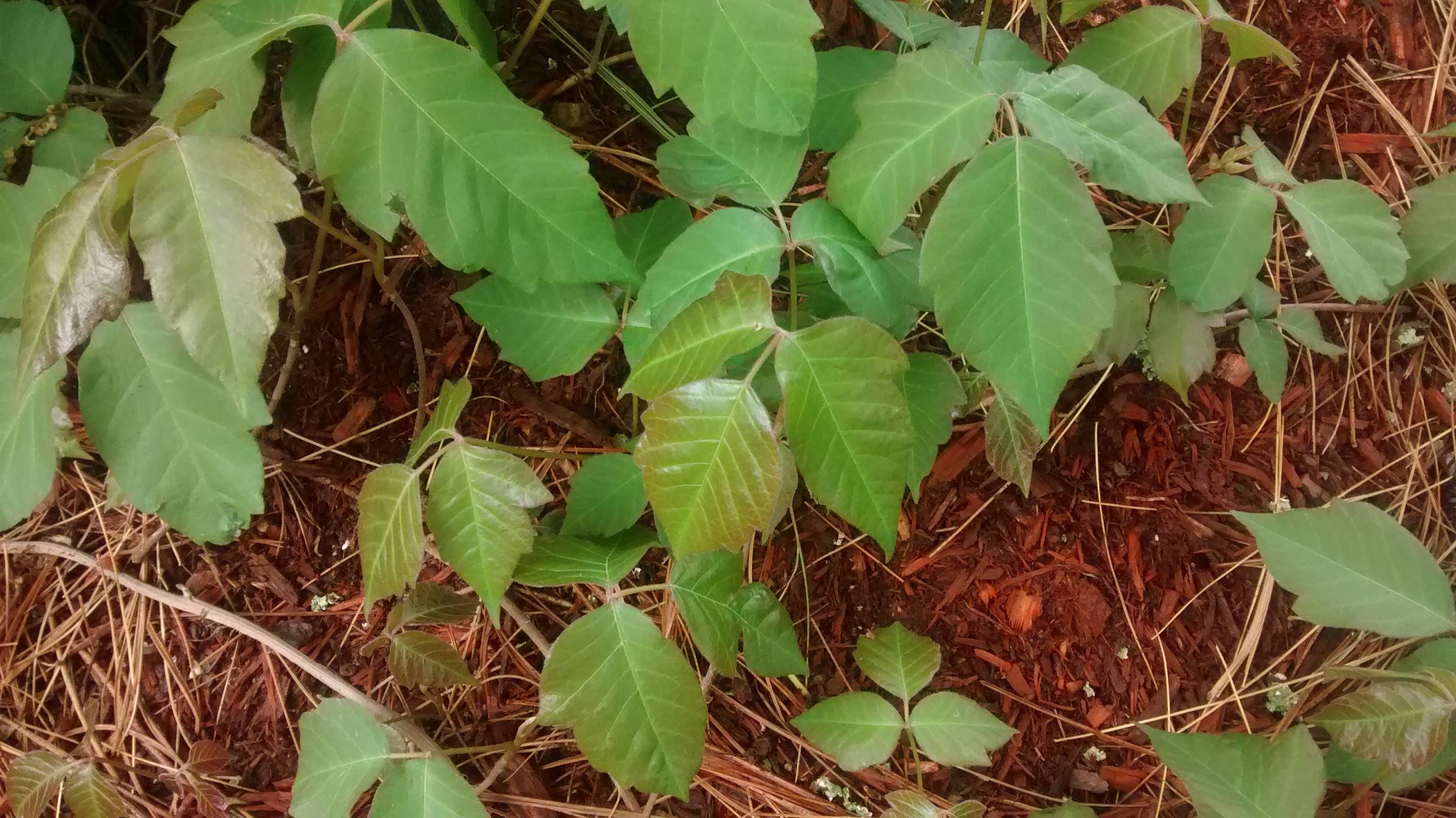 identification  Which of these if any are poison ivy  Gardening  Landscaping Stack Exchange