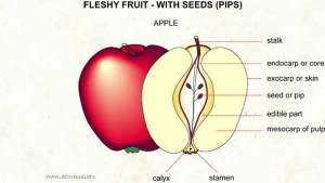 vocabulary  Name(s) for the top and bottom of an apple