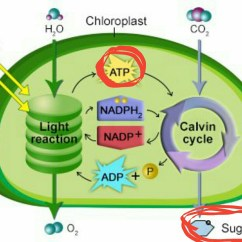 Photosynthesis And Cellular Respiration Diagram River Features Why Is Atp Produced In