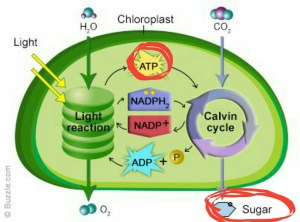 cellular respiration  Why is ATP produced in