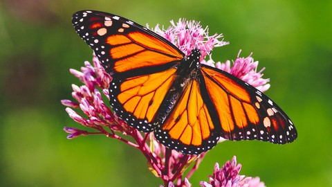 Attract Monarch Butterflies to your Garden