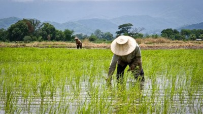 Image result for rice farm