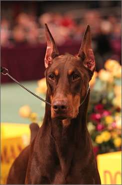 Banfield, The Pet Hospital, a national chain of veterinary clinics associated with PetsMart, says it will no longer perform tail docking or ear cropping on dogs. The practice is common with breeds like Doberman Pinschers, Boxers and various spaniels and terriers.