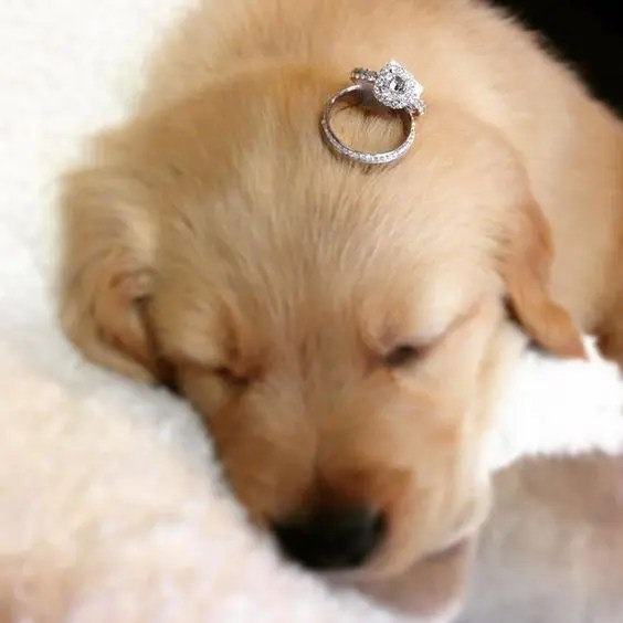 a little puppy with an engagement ring - when you decided not only to get married but also to take a pup