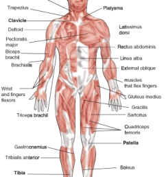 biceps drawing human muscle the muscular system is [ 921 x 1270 Pixel ]