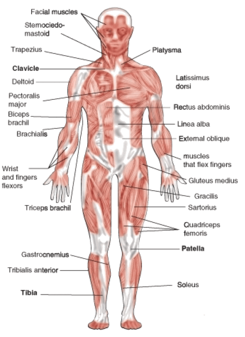 small resolution of biceps drawing human muscle the muscular system is