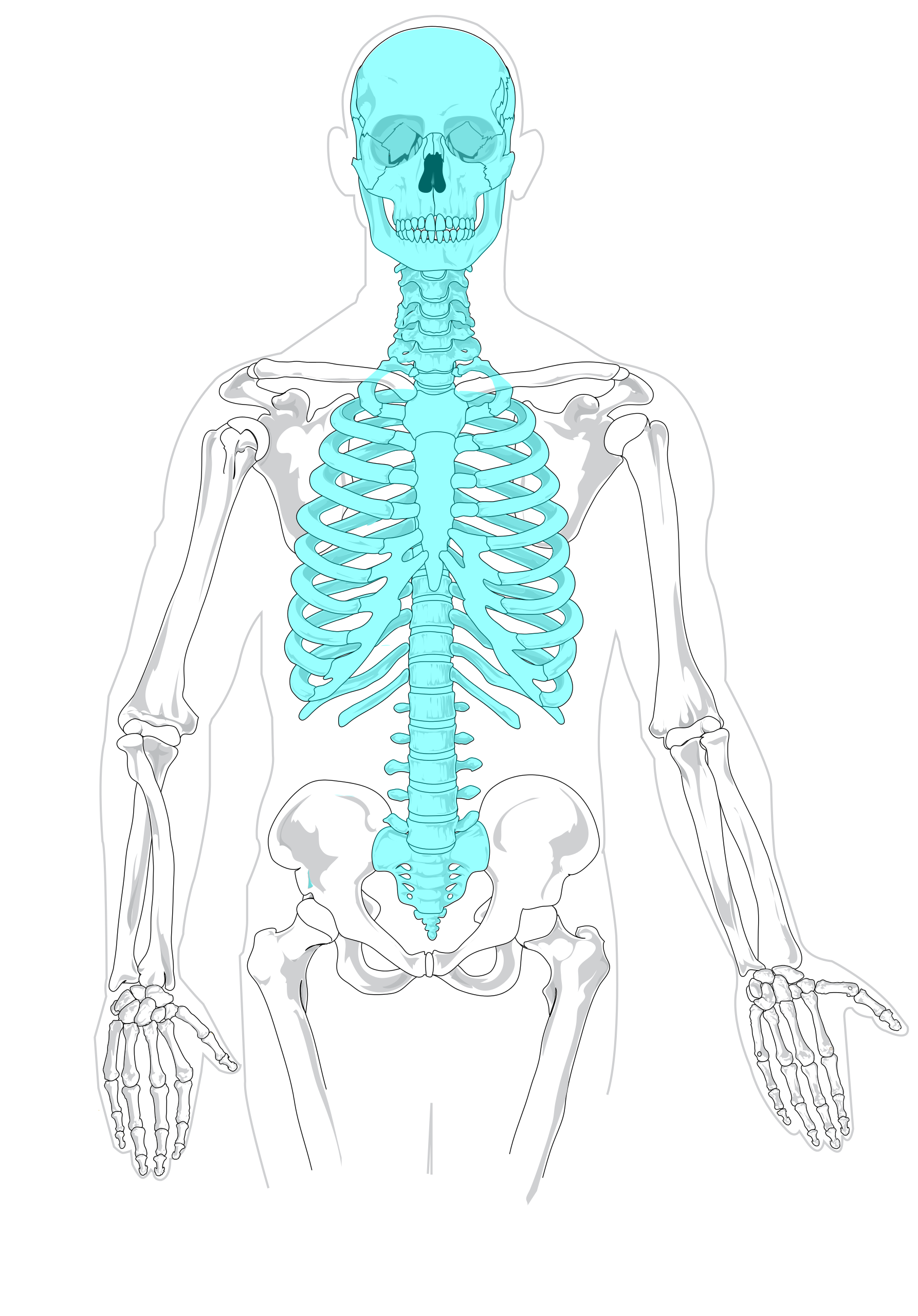 hight resolution of blank drawing skeleton