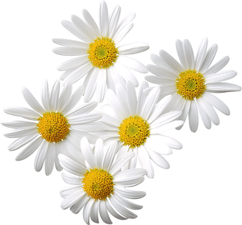 small resolution of transparent daisies clipart flowers 5 daisy love pinterest