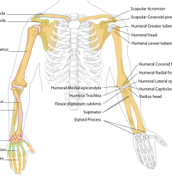 femur drawing labelled diagram file human arm bones [ 1167 x 1024 Pixel ]