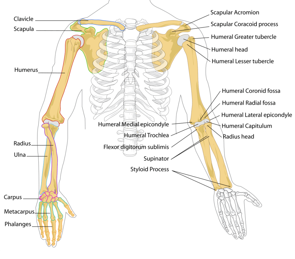medium resolution of femur drawing labelled diagram file human arm bones